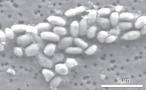 Halomonadaceae, i Proteobatteri Resistenti all'Arsenico