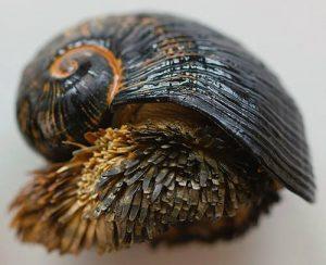 Chrysomallon Squamiferum, la Chiocciola di Ferro