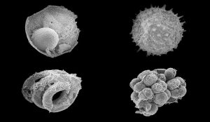 Microfossili dalla Mongolia